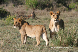 Lioness with young male