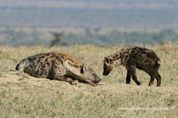 Spotted Hyaena with cub