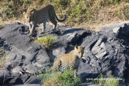 Female Leopard with one year old cub