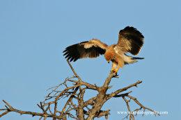 Juvenile Tawny Eagle