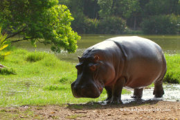 Male Hippopotamus