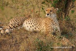 Female Cheetah