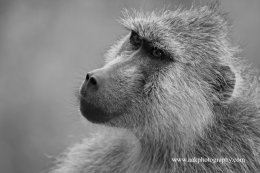 Male Olive Baboon