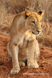 Tsavo Lioness