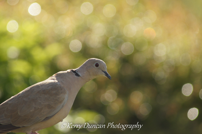 Collared By A Dove
