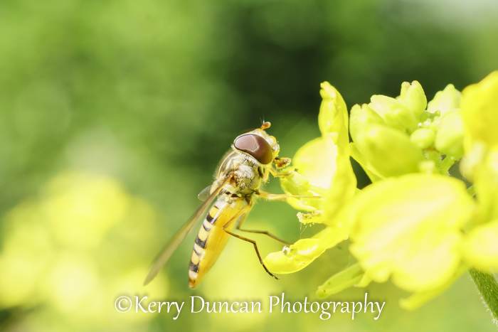Hoverfly In The Sun