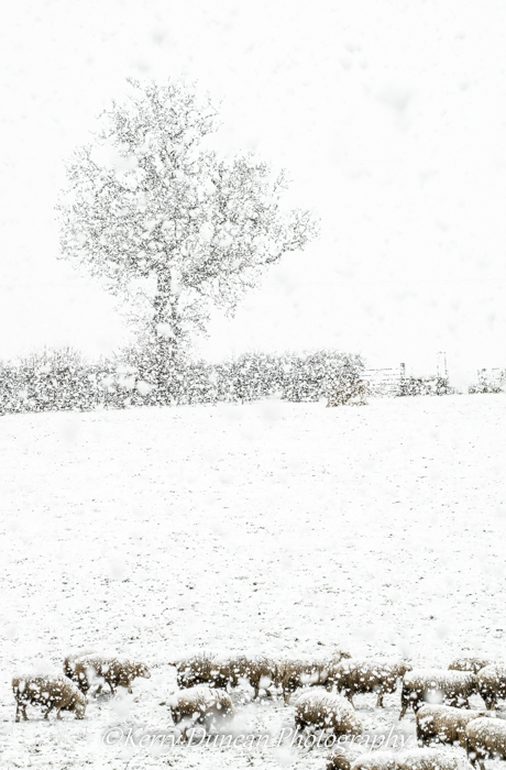 Sheep, Tree, Snow