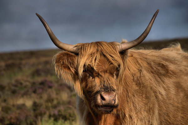Highland Cattle 1 p0012
