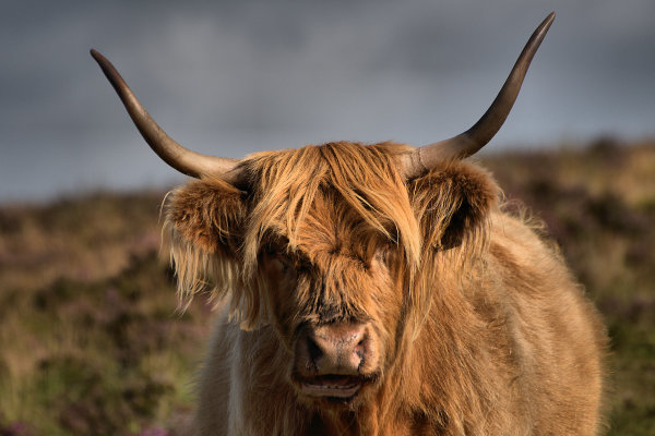 Highland Cattle 4 p0015