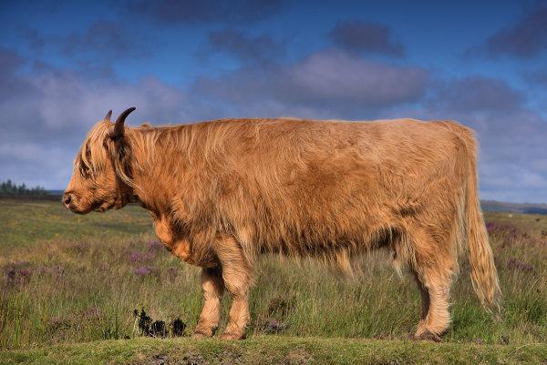 Cow p0003