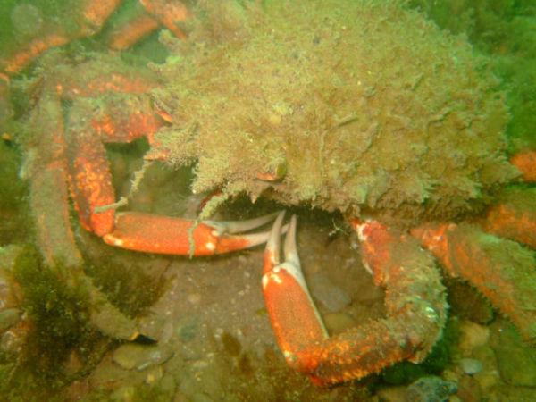Spider crab 2