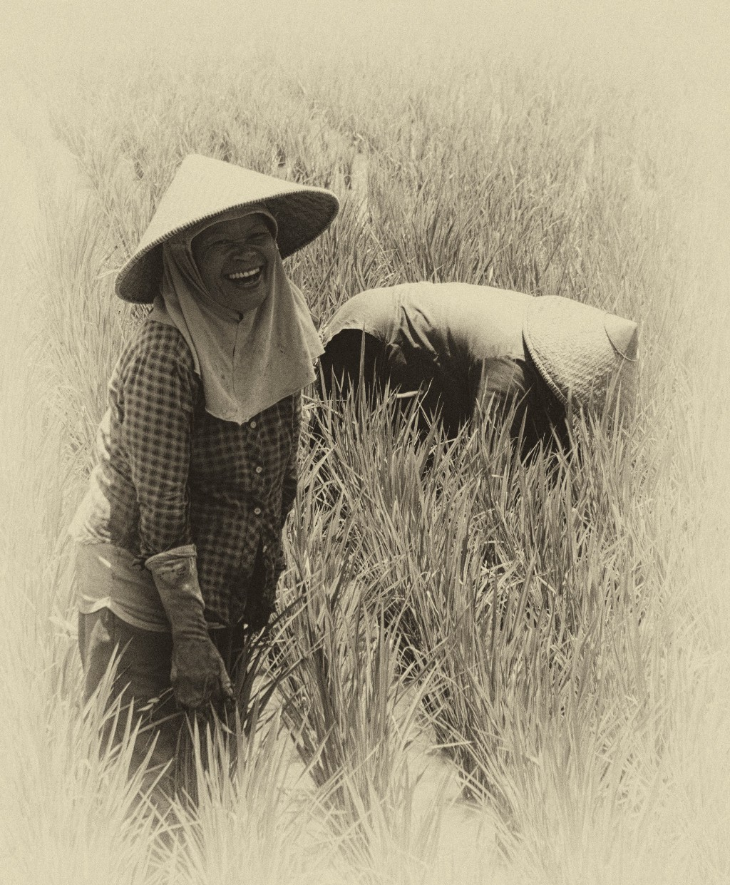 Rice Lady II ant