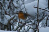 Robin in Flight Winter