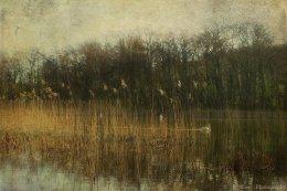 Swans At Selbrigg