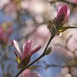 Soft Magnolia