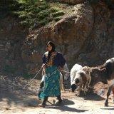 Berber Attending Livestock