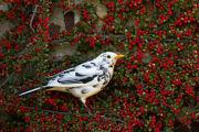 ALBINO BLACKBIRD