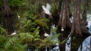 Ibis & Egrets