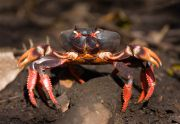 CUBAN RED LAND CRAB