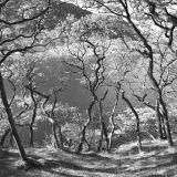 Dancing Trees, Crummock Water.