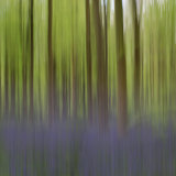 Bluebell wood abstract