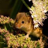 Harvest mouse in flower