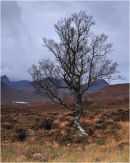 Lone silver birch (but not for long)
