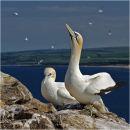 Gannets, Bass Rock (see video)