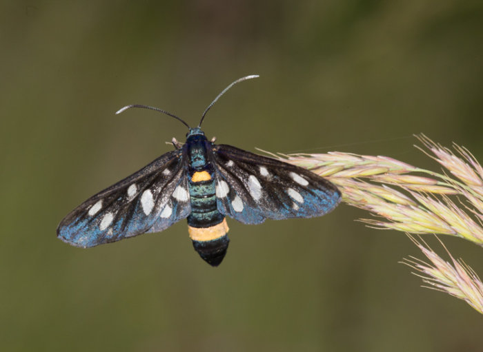 9 Spotted Moth