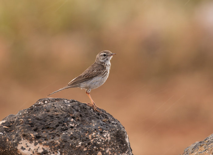 Berthelot's Pipit in the rain