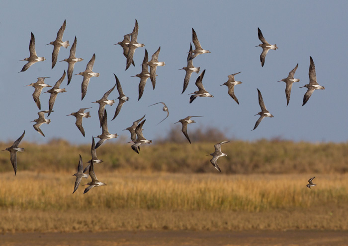 Bar-tailed Godwit Flock