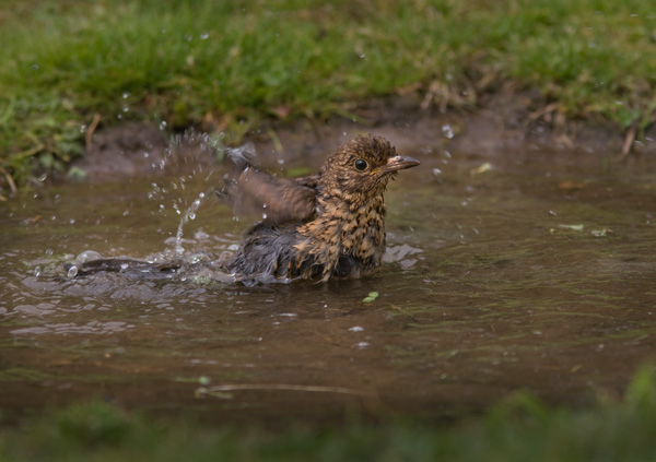 Blackbird - bathing