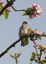 Blackcap Singing in Apple Tree