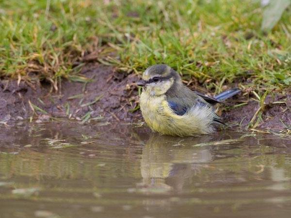 Blue Tit at Pond