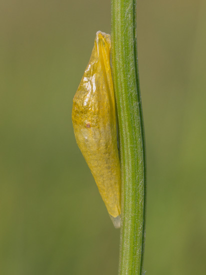 Pupa of a Burnet Moth