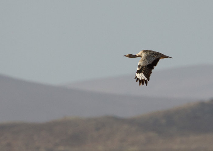 Houbara in Flight