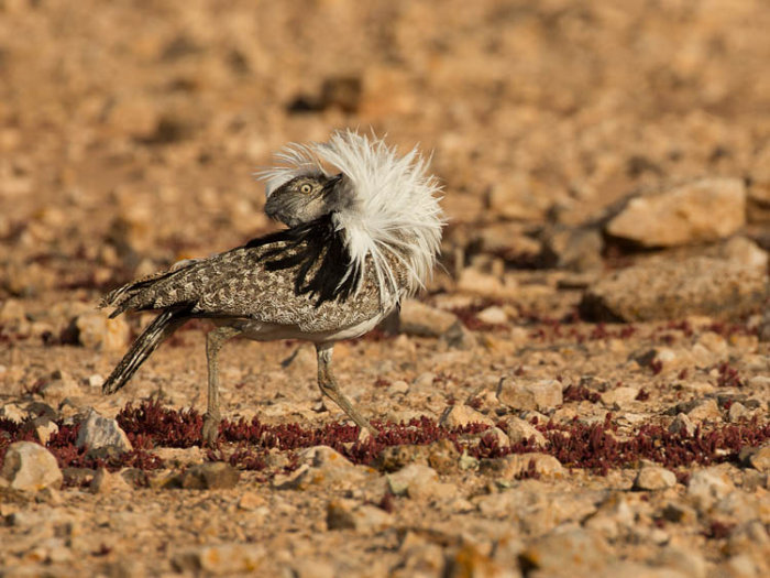Houbara - Displaying