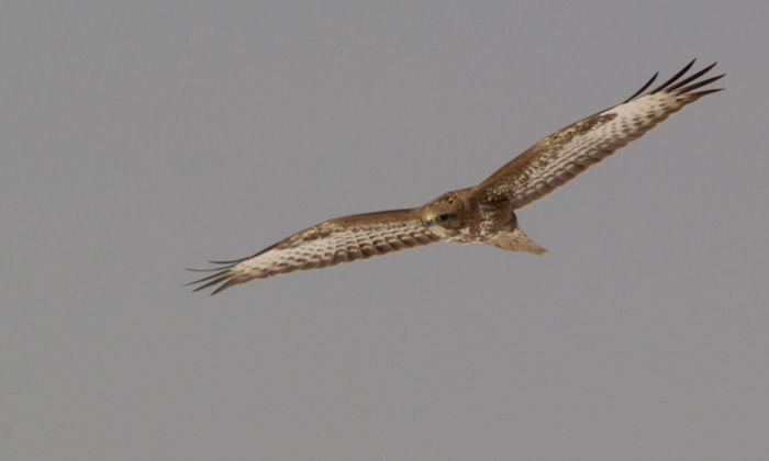 Common Buzzard in Flight