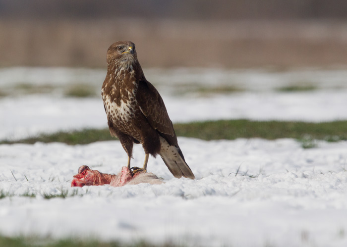 Buzzard on carrion