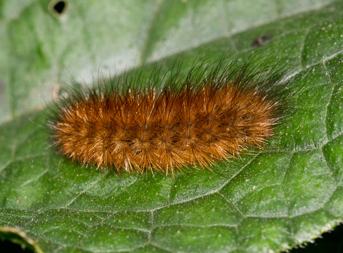 Ruby Tiger Larva
