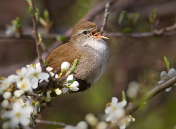 Cettis Warbler in Song