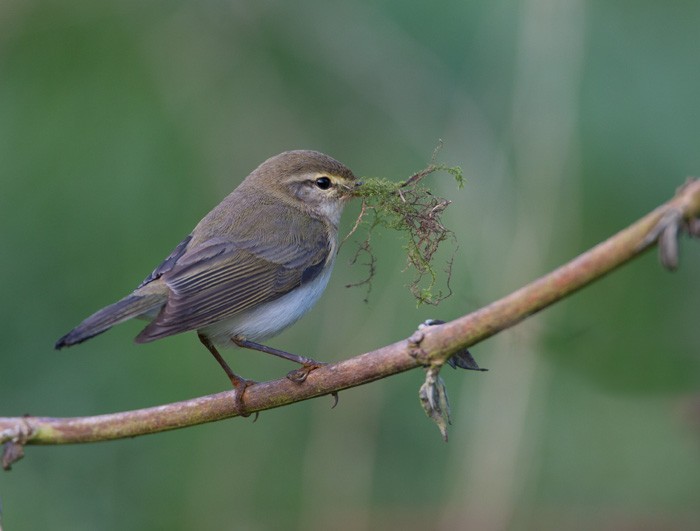 Chiffchaff with Nest Material