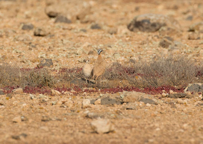 Cream-coloured Coursers - Adult and Chick
