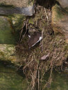 Dipper, Exiting Nest