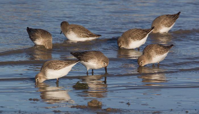 Dunlin Flock