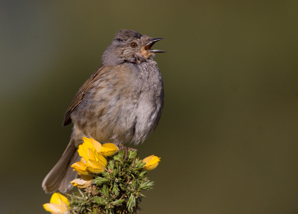 Dunnock Singing on Top of Gorse