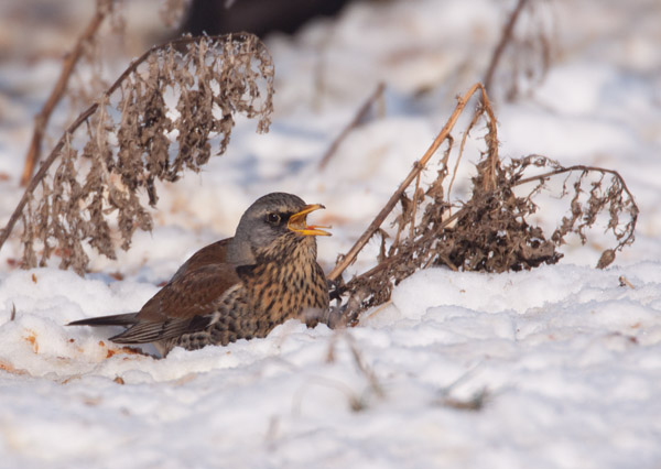 Fieldfare Swallowing Fruit