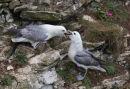 Two Fulmars
