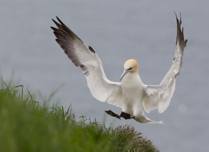 Northern Gannet Landing