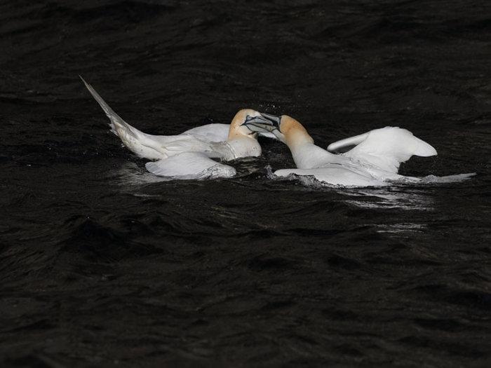 Gannet Fight